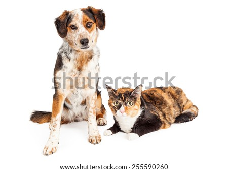A pretty adult Australian Shepherd Sitting next to a Calico cat - stock photo