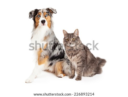 A pretty Australian Shepherd dog with a merle coat sitting next to a domestic medium hair tabby cat. Isolated on white.