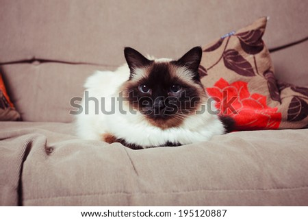A pretty Birman cat is relaxing on a sofa