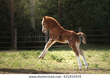 A pretty foal stands in a Summer paddock - stock photo