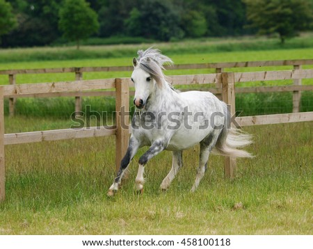 A pretty grey welsh pony canters through a summer paddock