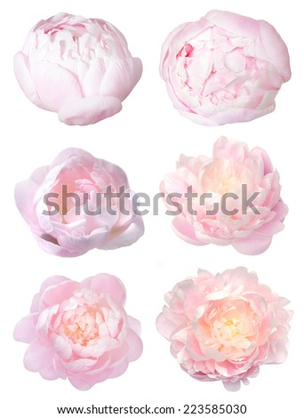 a pretty head peony flower isolated on white - stock photo