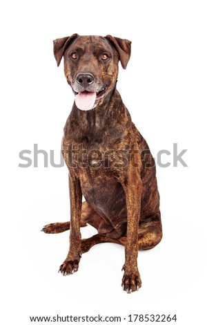 A pretty Labrador and Plott Hound mixed breed dog with a brown brindle coat sitting against a white background - stock photo
