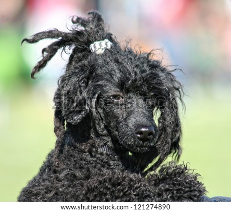 a pretty poodle - stock photo