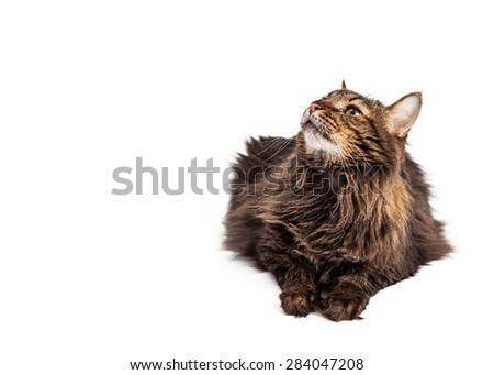 A pretty tabby longhair cat laying down on a white background and looking up into blank copyspace with room for text