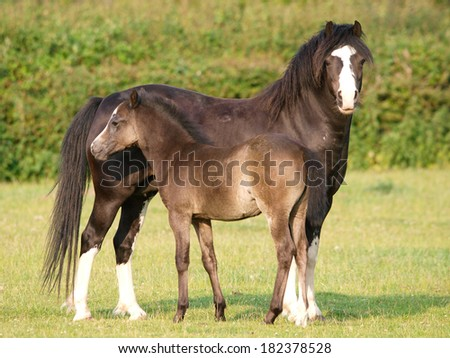 A pretty Welsh mare and foal in a Spring paddock. - stock photo