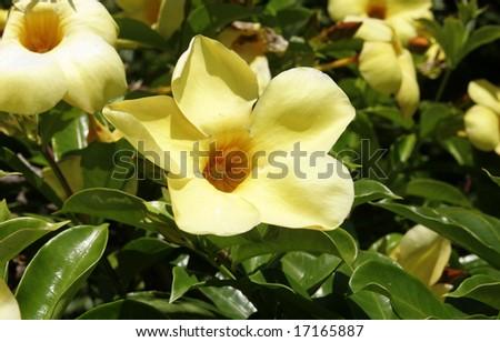 A pretty yellow allamanda flower blooming - stock photo