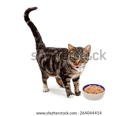 A pretty young Bengal breed cat standing next to a bowl of food while sticking her tongue out to lick her lips - stock photo