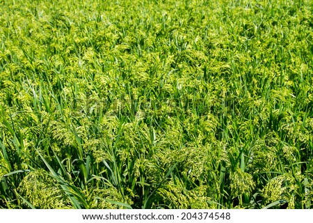 a Preview green field plant millet background  - stock photo