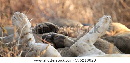 A pride of lionesses lying down for a nap in the evening sun in Serengeti National Park creates an amusing pile of paws.  Which paws belong to which head and which tail can be difficult to discern. - stock photo