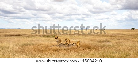 A pride of lionesses scan the savanna for their next meal. Serengeti National Park, Tanzania. - stock photo