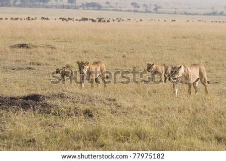 A pride of lions walk the plains of the Masai Mara. - stock photo