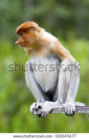 A proboscis monkey sat down watching something, Sandakan, Malaysia.