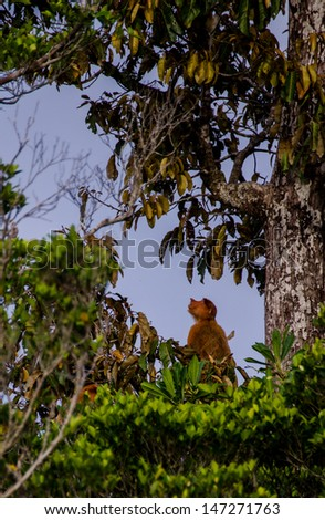 a proboscis monkey sitting in a tree in borneo