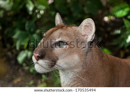 A profile of a green eyed puma or cougar staring into the jungle in Belize. - stock photo