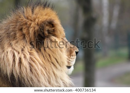 A profile of a lion in a nature reserve - stock photo