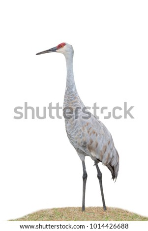 A profile of a sandhill crane sanding in grass on a white background
