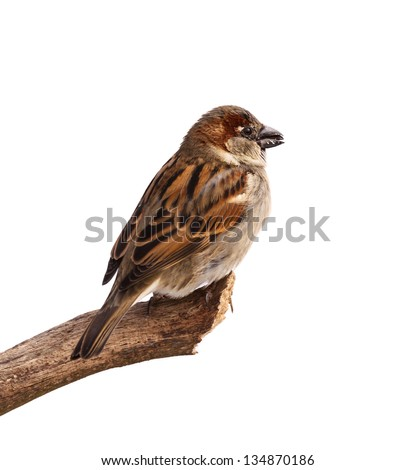 A profile of a sparrow posed to display the browns, blacks and grays of its feathers. The bird is perched on a branch with a sunflower in its beak. White background.