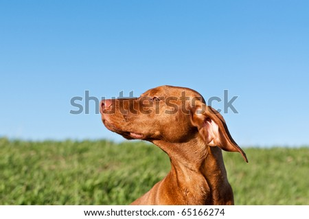 A profile shot of a sunlit Vizsla dog in a green field with a deep blue sky.. - stock photo
