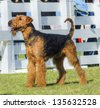 A profile view of a black and tan Airedale Terrier dog standing on the grass, looking happy. It is known as the king of terriers and for being very intelligent, independent, and strong-minded - stock photo