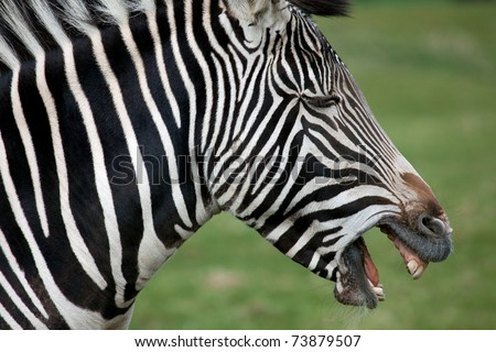 A profile view of a Grevy's Zebra with mouth open - stock photo
