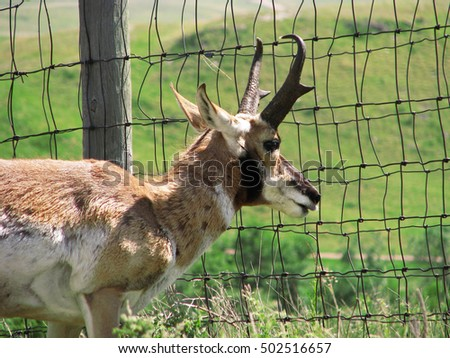 A pronghorn antelope peers through a fence in the Black Hills of South Dakota.