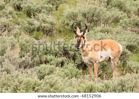 A pronghorn buck standing in a field of sagebrush, Yellowstone National Park. - stock photo