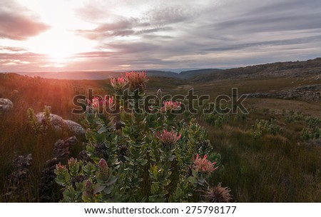 a protea flower bush indigenous to southern africa in a mountainous setting with a bright sunburst in the clouded sky
