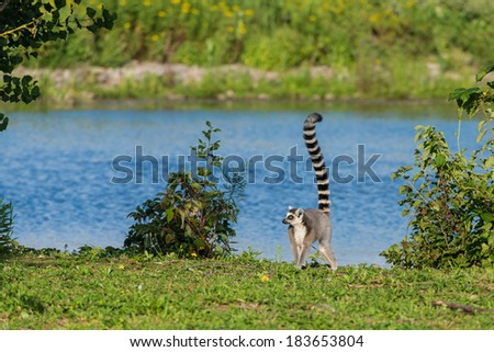 A proud lemur of Madagascar showing off its tail - stock photo
