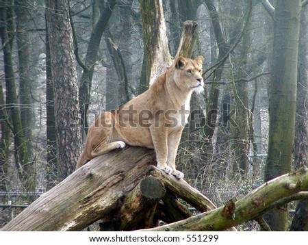 A proud lioness sitting on some old trees