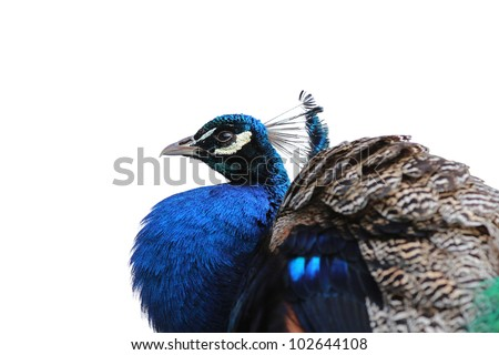 A proud peacock showing his colors - stock photo