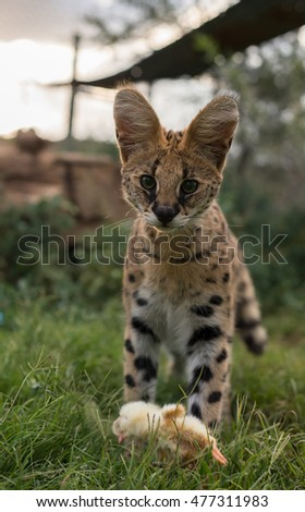 A proud young serval standing over it's meal