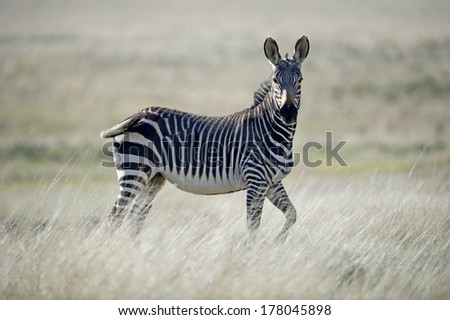 A proud Zebra Stallion struts in the veld - stock photo