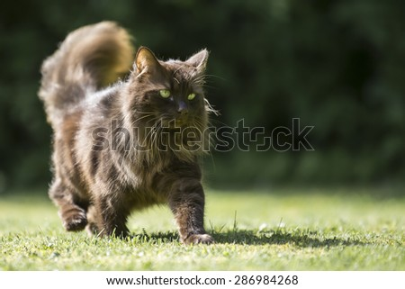 A prowling brown cat surveys his surroundings on the look out for prey, wandering across a freshly cut lawn. The sunshine reflects over his long fur.