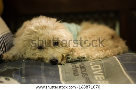 a puddle dog lay on pillow