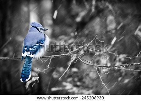 A puffed up blue jay sits on a branch of a tree in a forest during a snowy day in Ontario, Canada.  Selective color used.  - stock photo