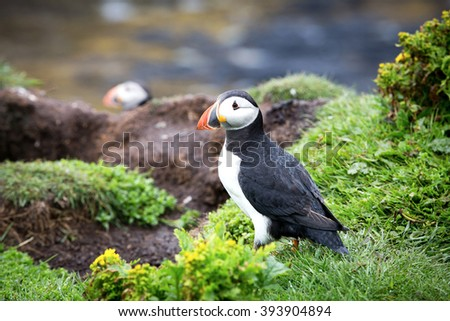 A puffin on the cliffs of Treshnish Isle, Inner Hebrides, Scotland - stock photo