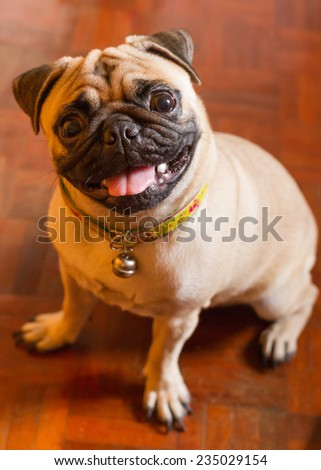 A Pug Dog  - stock photo