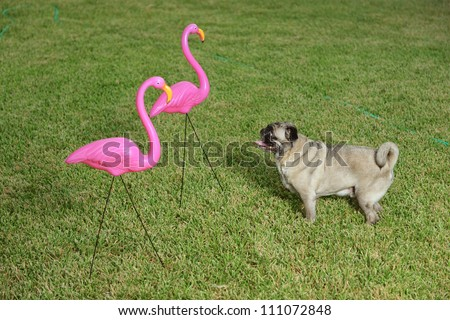 A pug dog curiously looking at two plastic flamingo lawn decorations. - stock photo