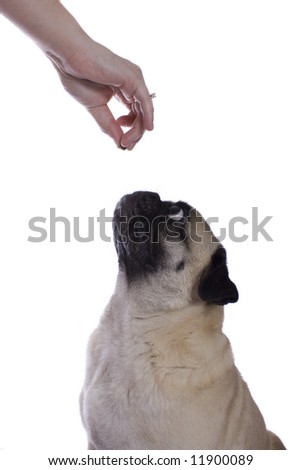 A pug dog takes a treat from its owners hand