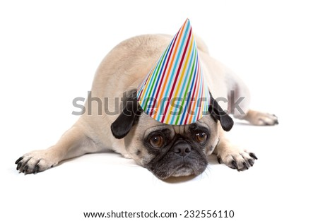 A pug dog wearing a birthday party hat looks depressed. - stock photo