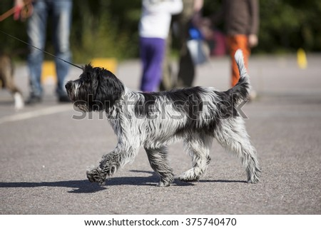 A puppy dog is walking happily in a dog show. - stock photo