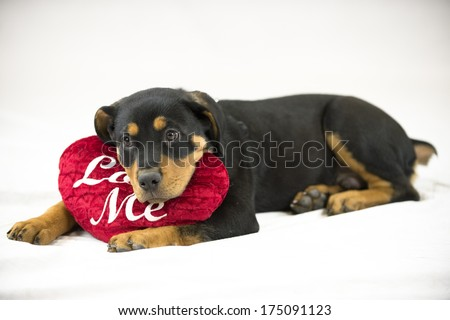 "A puppy poses with a crushed velvet heart pillow embroidered with ""Love me"" (Valentine's Day)"