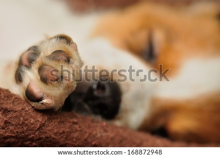A puppy's paw with shallow depth of field - stock photo