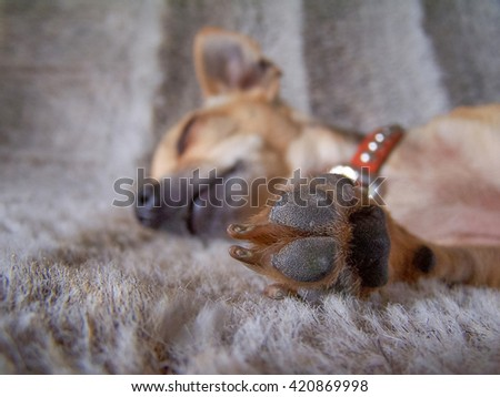 a puppy sleeping on a furry blanket with his paw in front of his face (VERY SHALLOW DOF) - stock photo