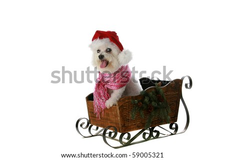 a pure bred bichon frise helps with christmas and the winter holiday seasons - stock photo