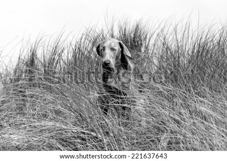 A pure bred weimaraner dog in running motion with ears flapping in this side on photo taken on the beach on a beautiful summer day in the Eastern Cape, South AFrica