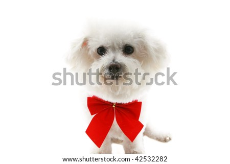 A Pure breed Bichon Frise wears a red bow  isolated on white - stock photo