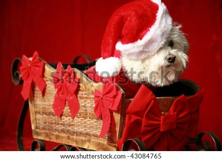 a pure breed Bichon Frise wears her Santa Suit and Hat in her Santa Sleigh on a red velvet background - stock photo