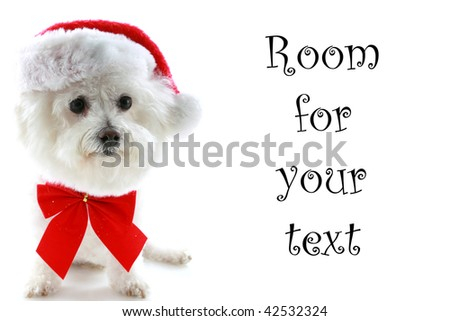 a Pure breed Bichon Frises wears a red bow and her Santa Claus Hat with room for your text isolated on white , text is easily replaced with your text - stock photo